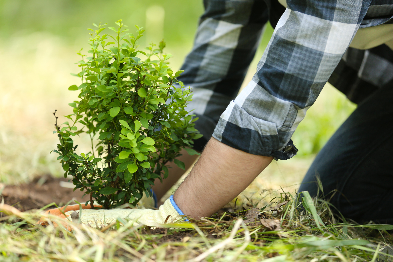Landscaper planting