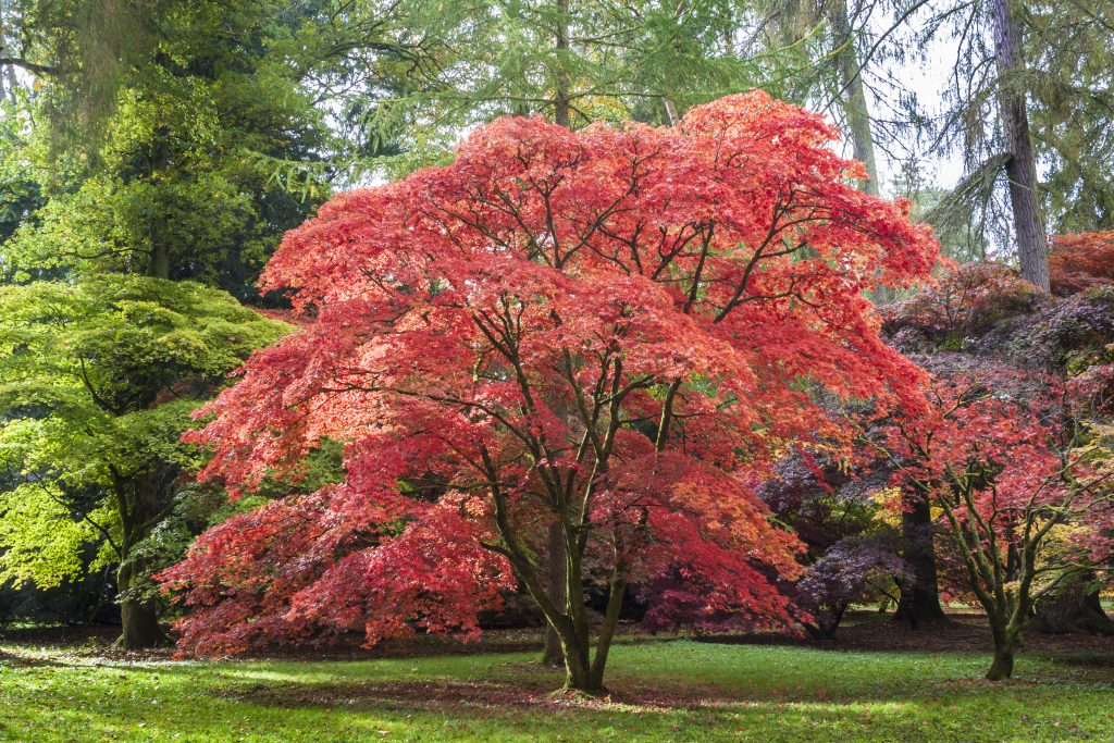 Japanese Maple, also known as Acer Palmatum