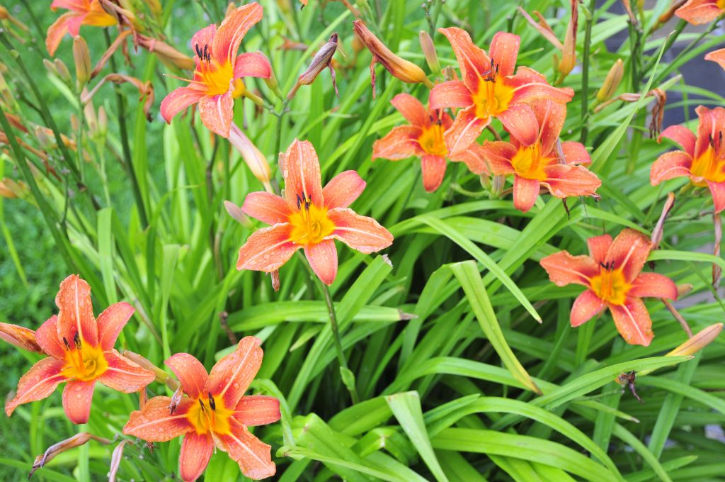 Daylily, also known as Hemerocallis