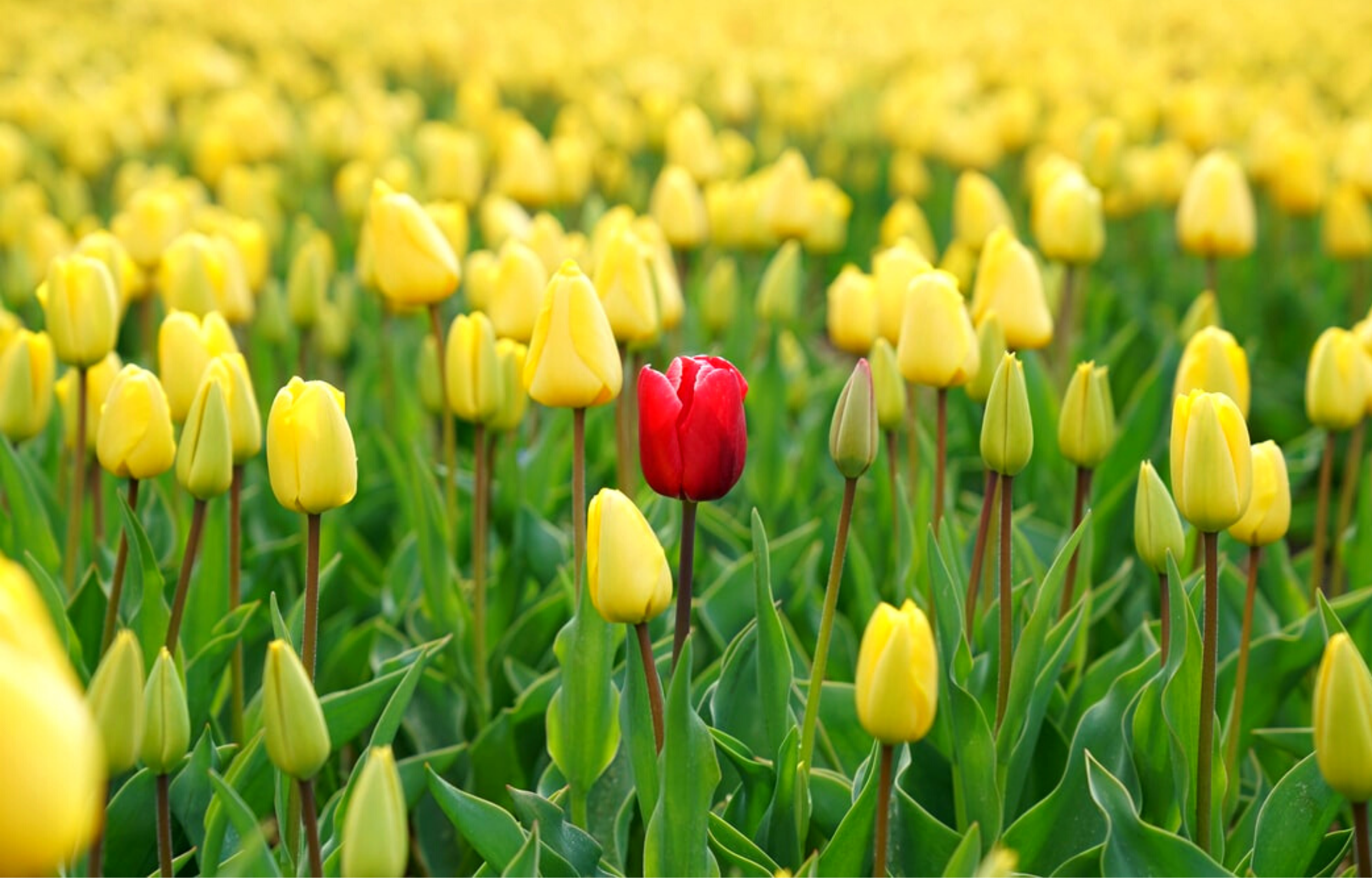 Picture of yellow flowers with one red flower in the middle